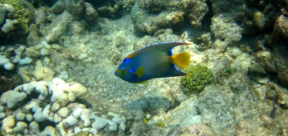 reef snorkel angelfish on the water