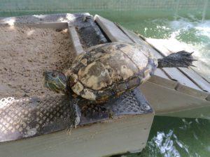 turtles at KW Hyatt