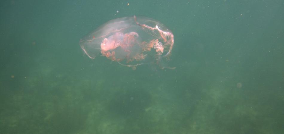 reef snorkel jellyfish