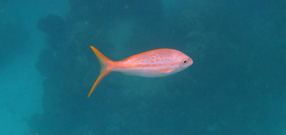 reef snorkel yellowtail
