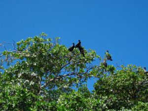 cormorants in mangroves