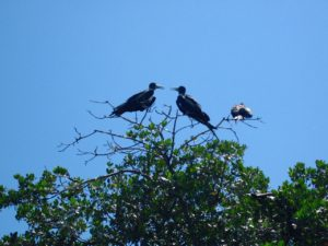 frigate birds Keys Boat Tours