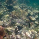 snorkeling Newfound Harbor black grouper