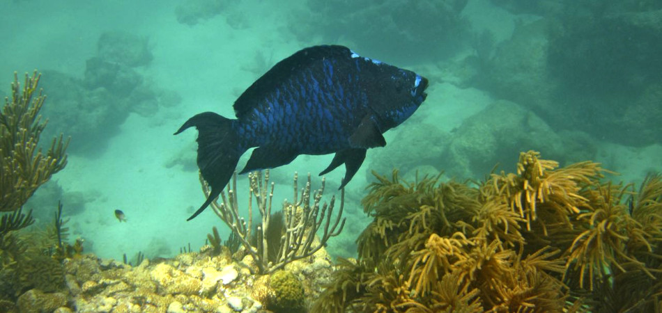 reef snorkel blue parrotfish