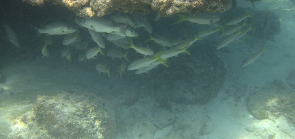 reef snorkel fish under coral