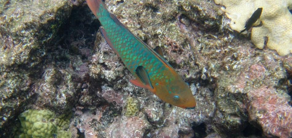 reef snorkel parrotfish